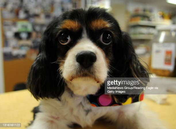 The Shoppe Pets Purrfur for herbal remedy story. Buggy lies, on the countertop at The Shoppe Pets Purrfur. Buggy is owner Kathy Quirk's dog.Photo by...