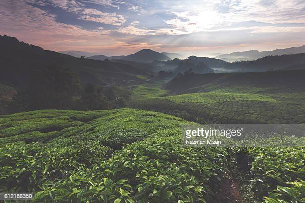 The shot of sunrise over a tea farm during a calm morning.