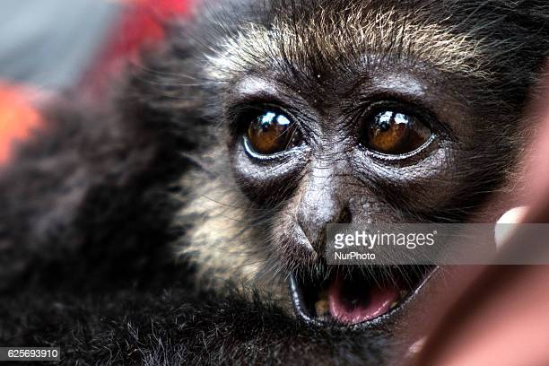 The siamang is an arboreal blackfurred gibbon native to the forests of Sumatra in in the exhibition Mea Riau Expo 2016PekanbaruRiau ProvinceIndonesia...
