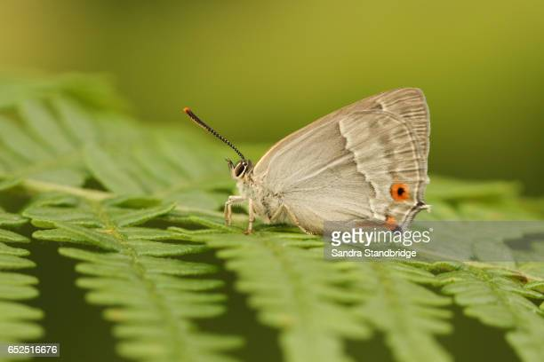 the side view of a purple hairstreak butterfly (favonius quercus) perched on bracken with its wings closed. - hertford hertfordshire stock pictures, royalty-free photos & images