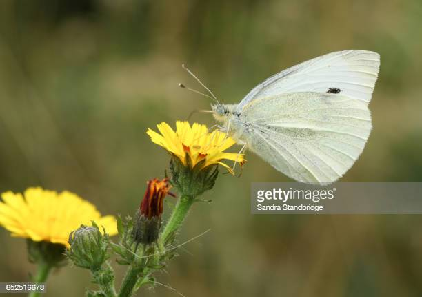 The side view of a Small White Butterfly (Pieris rapae) nectaring on a flower with its wings closed.