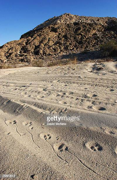 The sidestepping squiggle shape of a sidewinder rattlesnake are joined by the doglike prints of a coyote over offroad vehicle tracks in the sand...
