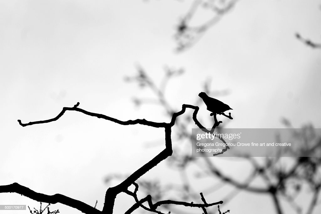 The silhouette of a blackbird : Stock Photo