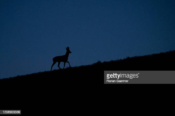 The silhouette of a deer is pictured during blue hour on April 01 2020 in Wiesa Germany