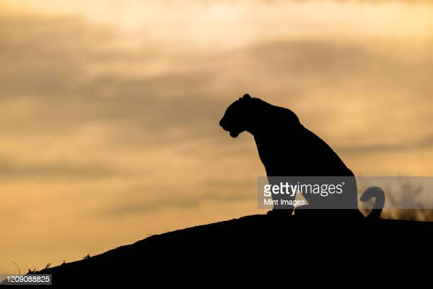 the silhouette of a leopard, panthera pardus, sitting on a mound, sunset sky - leopard stock pictures, royalty-free photos & images