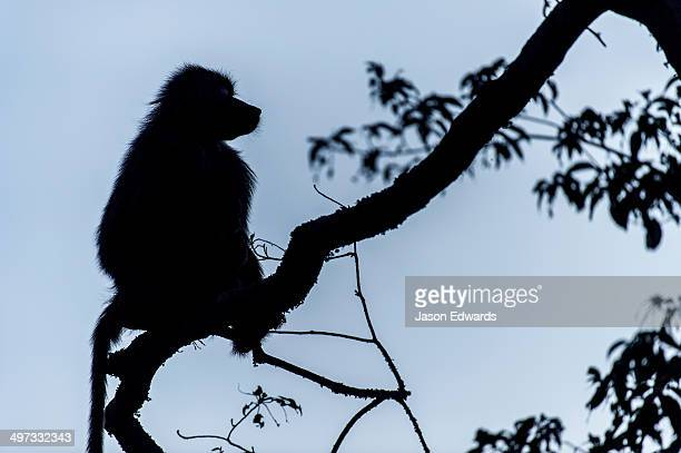 The silhouette of an Olive Baboon sitting on the end of a branch in a tree before dawn.