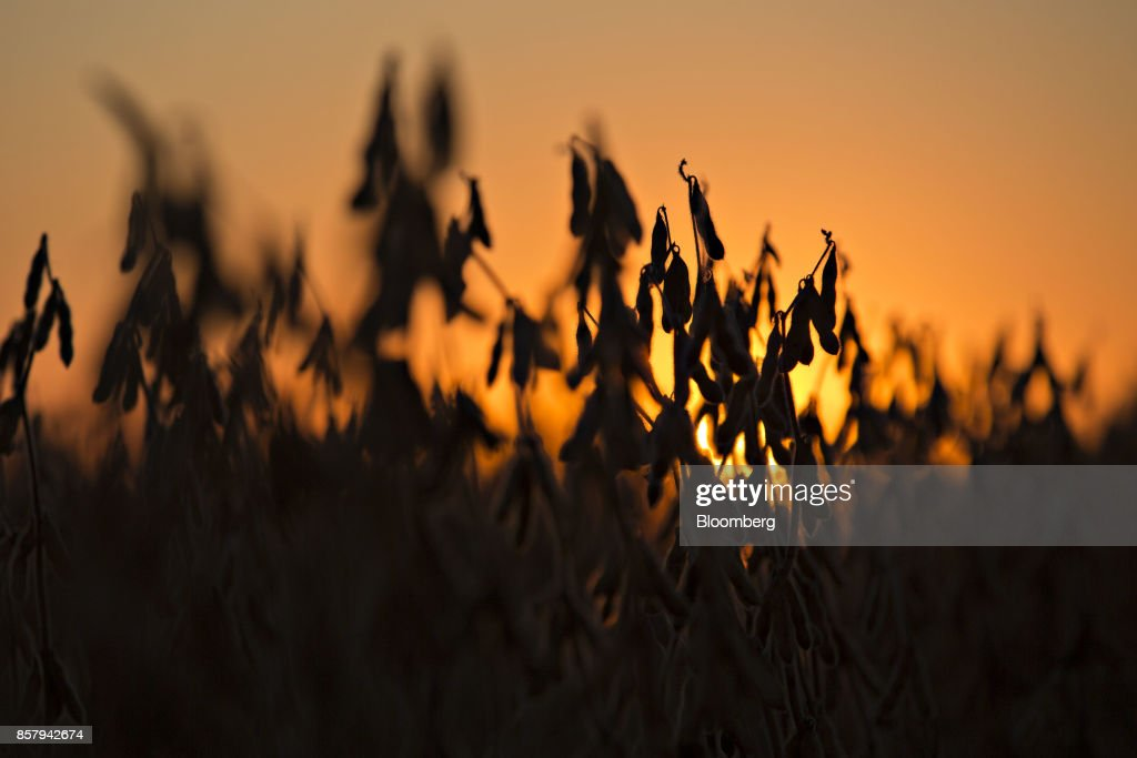 The silhouette of soybeans are seen in a field at dusk in Buda, Illinois, U.S., on Friday, Sept. 29, 2017. Soybean futures for November delivery rose 0.1% a bushel on the Chicago Board of Trade after falling as much as 0.5%, the lowest since September 13. Photographer: Daniel Acker/Bloomberg via Getty Images