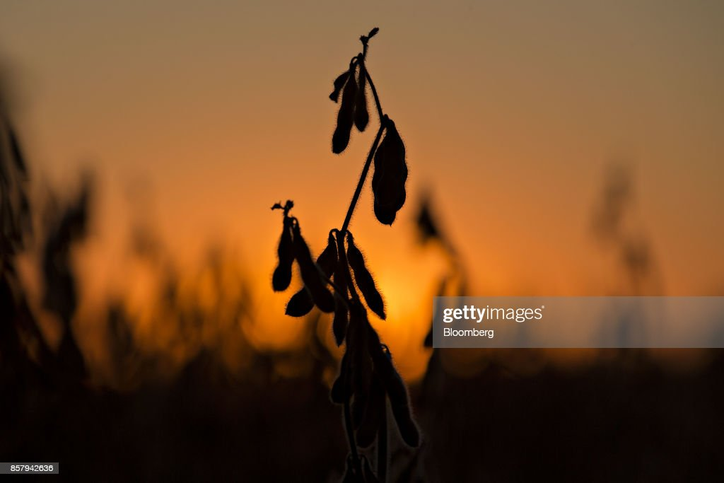 The silhouette of soybeans is seen in a field at dusk in Buda, Illinois, U.S., on Friday, Sept. 29, 2017. Soybean futures for November delivery rose 0.1% a bushel on the Chicago Board of Trade after falling as much as 0.5%, the lowest since September 13. Photographer: Daniel Acker/Bloomberg via Getty Images