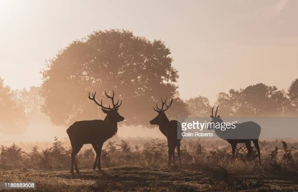 the silhouette of three red deer stags in autumn - autumn stock pictures, royalty-free photos & images