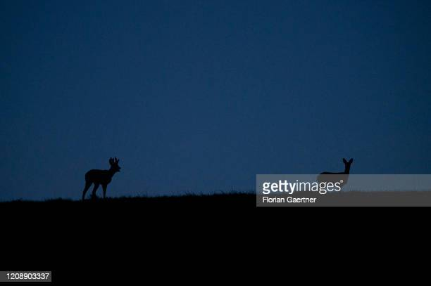 The silhouette of two deers are pictured during blue hour on April 01 2020 in Wiesa Germany