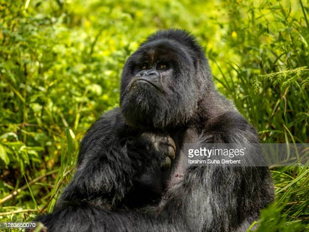 the silverback mountain gorilla (gorilla beringei beringei) is scratching his chest and looking at camera - hairy chest 個照片及圖片檔