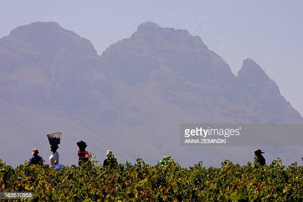 The Simonsberg mountain towers over workers harvest grapes on the Bouwland Wine Estate in Stellenbosch about 50 kms outside of Cape Town 19 February...