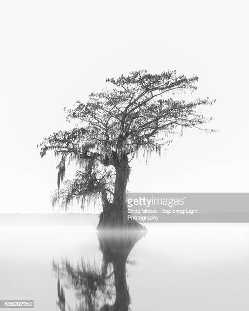 the siren - bald cypress tree stock photos and pictures