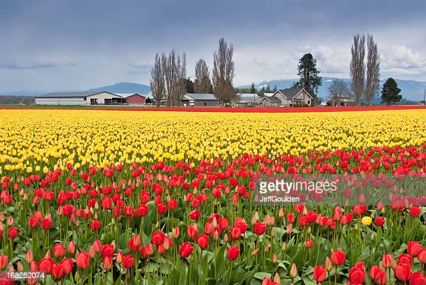 Tulip Fields Blooming in the Skagit Valley
