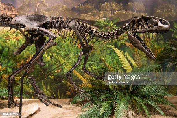 The skeleton of a Allosaurus baby dinosaur photographed at the primeval museum in Bayreuth Germany 11 March 2016 The 150 million year old skeleton...