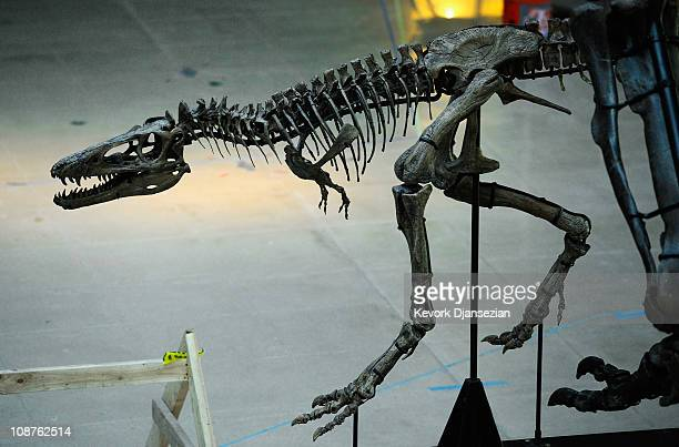 The skeleton of a baby Tyrannosaurus rex is part of an exhibit featuring three specimens of TRex in varying in ages at the Natural History Museum of...