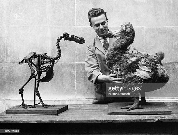 The skeleton of a dodo is displayed beside a reconstruction of the flightless bird which became extinct by the late 17th century National Museum of...