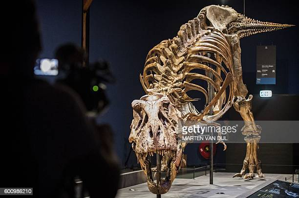 The skeleton of a T rex named Trix is installed in a room of the Naturalis museum of Leiden on September 9 during the exhibition T rex in Town...
