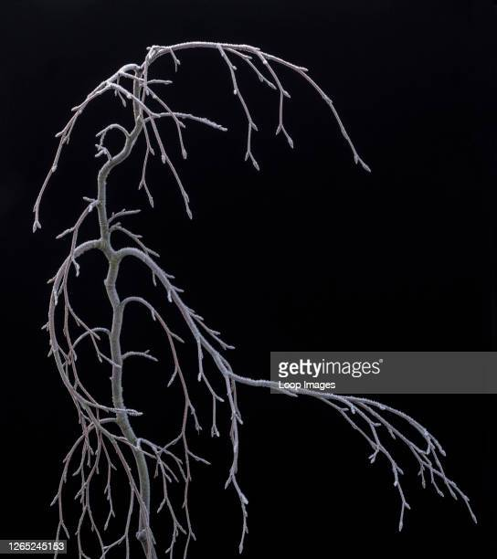 The skeleton of a weeping Beech tree covered in frost.