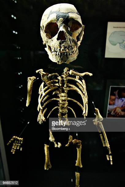 The skeleton of a young Neanderthal hangs in a display case during the media preview of the Anne and Bernard Spitzer Hall of Human Origins at the...
