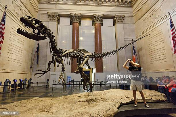 The skeleton of an Allosaurus dinosaur at the American Museum of Natural History After renovations the museum reopened today its display of...
