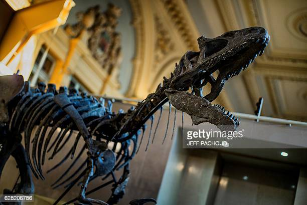 The skeleton of an Allosaurus is exhibited on December 5 2016 at Lyon Brotteaux Aguttes auction house in Lyon Named Kan the skeleton whose value is...
