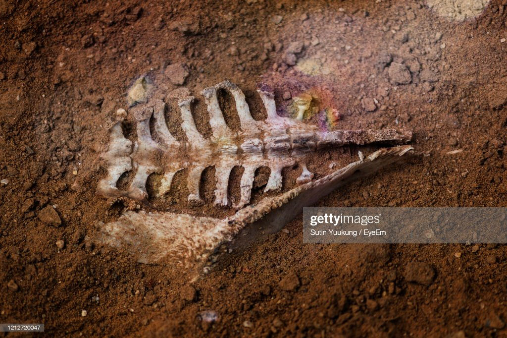 The Skeleton Of An Animal Buried In The Soil. : Stock Photo