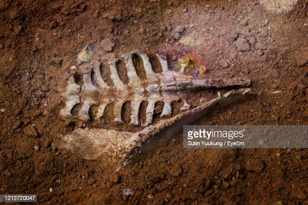 the skeleton of an animal buried in the soil. - palaeontology stock pictures, royalty-free photos & images
