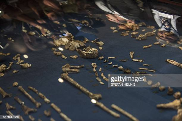 The skeleton of Homo Naledi a newly discovered human ancestor is displayed during the unveiling of the discovery on September 10 2015 in Maropeng A...