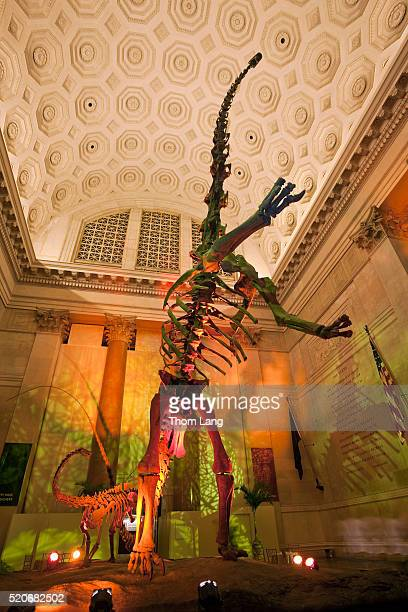 the skeletons of a barosaurus with colored lights in the entranc - sauropoda stock pictures, royalty-free photos & images