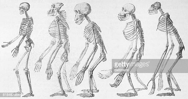 The skeletons of five primates Human gorilla chimpanzee orangutans and gibbon After Ernst Haechel's The Battle of Evolution 1905 Printed by Georg...