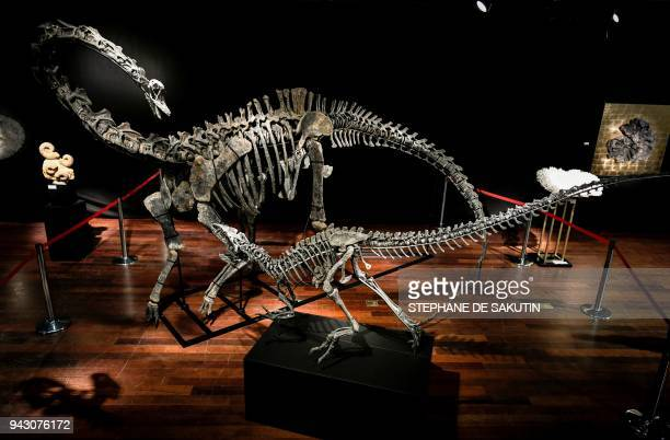 The skeletons two Jurassic age dinosaurs a Diplodocus and an Allosaurus are displayed on April 6 before being auctioned on April 11 at the Drouot...