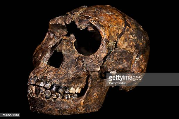 The skull of Turkana Boy a 15 million year old Hominid photographed at the National Museum of Kenya on October 21 2010 in Nairobi Kenya Turkana Boy...