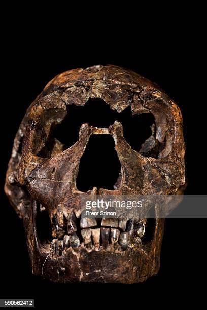 The skull of Turkana Boy a 15 million year old Hominid photographed at the National Museum of Kenya on Ocotber 21 2010 in Nairobi Kenya Turkana Boy...