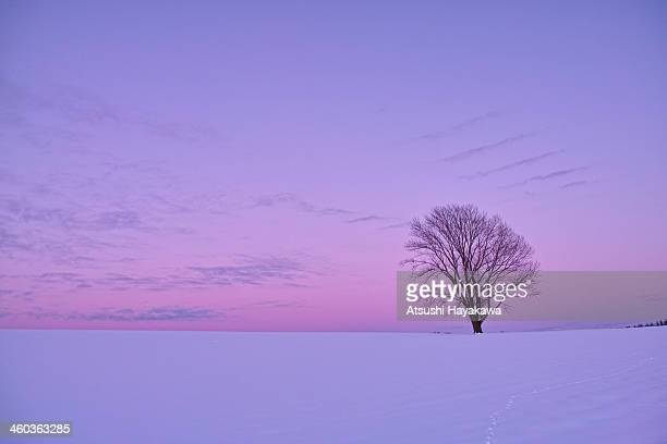 the sky of a pastel color, and a lonely tree - 北海道 ストックフォトと画像