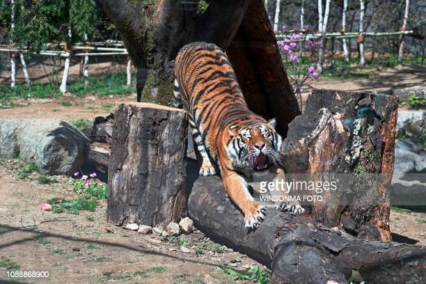 the sleepy tiger - zoo stock pictures, royalty-free photos & images