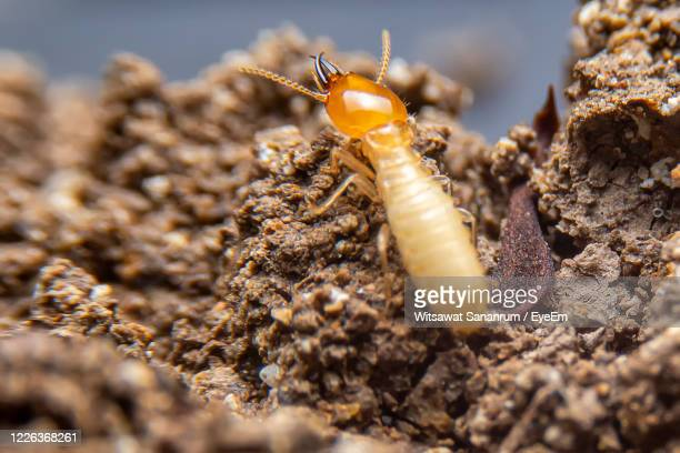 the small termite on decaying timber. the termite on the ground is searching for food. - termite photos et images de collection