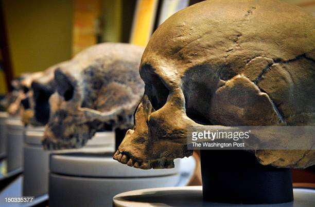 The Smithsonian Museum of Natural History is about to open its' new Hall of Human Origins March 15 2010 in Washington DC Pictured a row of skulls...