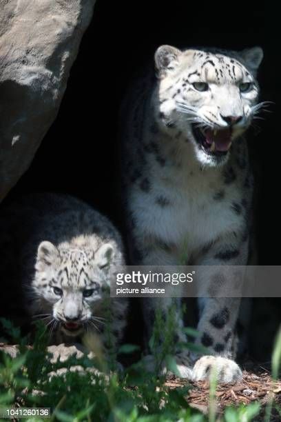 The snow leopard mum Siri with her cub Barid in their enclosure in the Cologne Zoo Cologne Germany 13 August 2015 The baby boy cub Barid was born on...