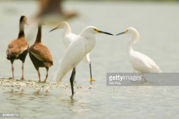 The snowy egret is a small white heron Magdalena river valley IbaguE Tolima Colombia