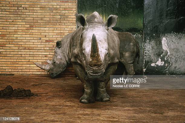 The Sofia zoo In Sofia Bulgaria In February 1998 Rhinos