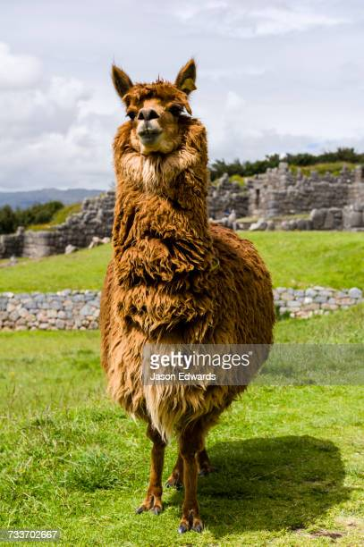cusco, peru. - one animal stock photos and pictures