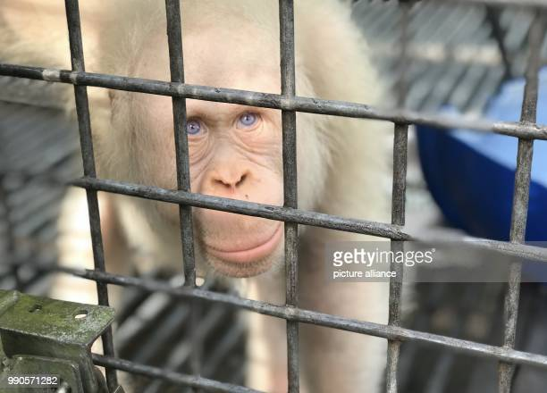 The sole living white Orangutan worldwide a female named Alba sits inside her cage at the rescue station Nyaru Menteng near Palangka Raya Indonesia...