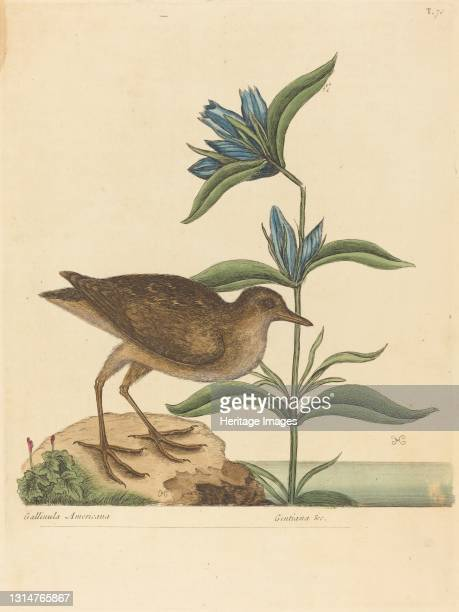 The Soree , published 1731-1743. Artist Mark Catesby.
