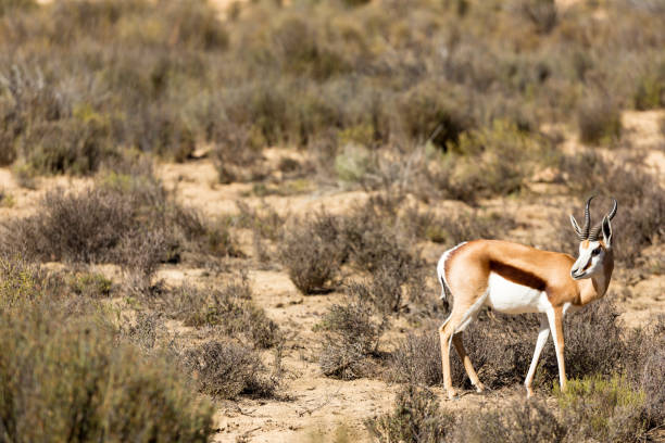 The South African Springbok