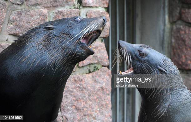 The South American seals Molly and Diego in their enclosure at the zoo in Halle Germany 19 January 2015 A Hallebased company has extended its...