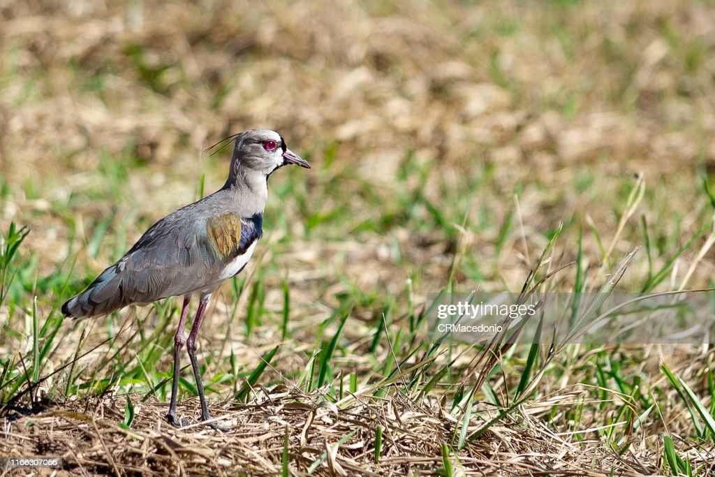 The southern lapwing (Vanellus chilensis) : Stock Photo