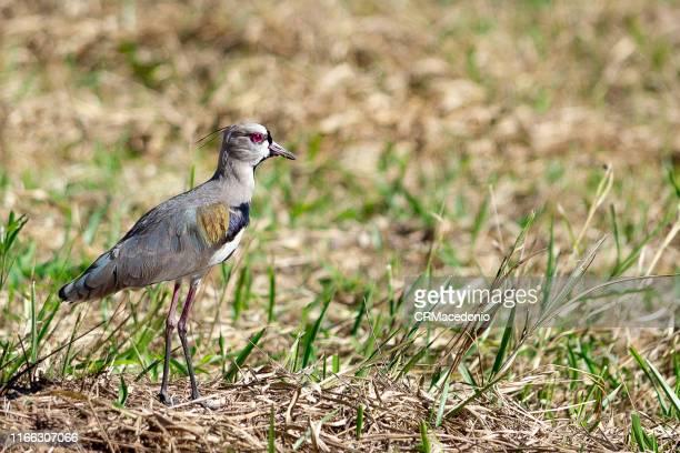 the southern lapwing (vanellus chilensis) - crmacedonio imagens e fotografias de stock