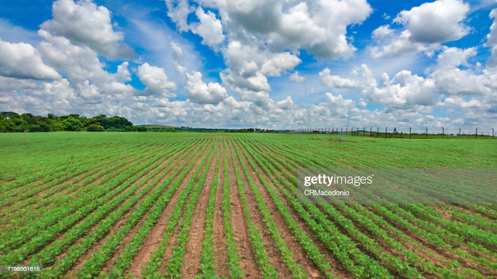 The soy plantation grows in manicured soil under blue sky between clouds. : Stock Photo