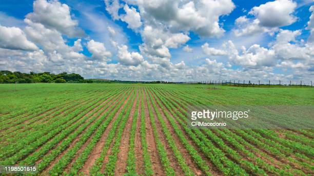 the soy plantation grows in manicured soil under blue sky between clouds. - crmacedonio stock-fotos und bilder